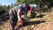 MEHMET KARAKAYA - Demirci'de Kestane Üretimi 3'E Katlandı