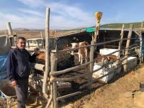 MUSTAFA ERDOĞAN - Hüyük'te  Orman Köylüsü 62 Aileye 124 Gebe Düve Desteği