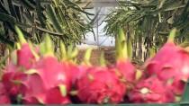 MANGO - Türkiye'nin Tropik Meyve İhracatı Artıyor
