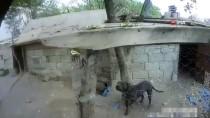 PİTBULL - Kayseri'de 'Tehlikeli Irk' Kategorisindeki 9 Köpek Alıkonuldu