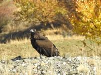 KURBAĞA - Nesli Tehlike Altında Olan Kara Akbaba Göç Ederken Erzincan'da Mola Verdi