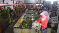 TONAJ - Silifke'de Muz Üretimi Hızla Artıyor