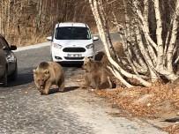 KRATER GÖLÜ - Bitlis'in Maskotu Ayılar Kavurmayla Besleniyor