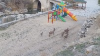 İlçe Merkezinde Gezen Yaban Keçileri Yine Görüntülendi