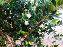 TAFLAN - Çatalzeytin'de Erik Ağaçları Kasım Ayında Çiçek Açtı
