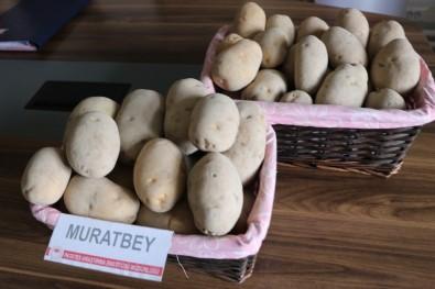 Milli Patates Çeşitleri Leventbey Ve Muratbey Tarla Yolunda