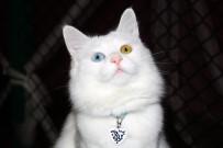 MEDYATİK - Van Kedilerinin Dünya Çapında Popülerliği Arttı