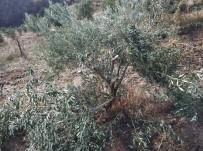 Manisa'da Zeytin Ağacı Katliamı