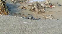 CARETTA CARETTA - Bu Yıl 537 Bin 424 Yavru Kaplumbağa Denizle Buluştu