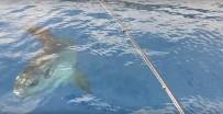 MEHMET SEZGIN - Antalya Körfezi'nde 'Ay Balığı' Şaşkınlığı
