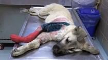 ATALAN - Kayseri'de Otomobilin Çarptığı Köpek Yavrusunun Bacağına Platin Takıldı