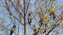 AHMET NECDET SEZER - Üniversite Kampüsündeki Ağaç, Baykuş Kreşi Oldu