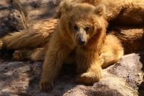 KEÇIBOYNUZU - Hayvanat Bahçesi'ne Özel Kış Menüsü