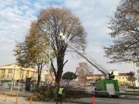 GÖVDELI - Düzce Belediyesi Ekiplerinin Budama Çalışmaları Sürüyor