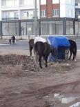 Sahipsiz Kalan Aç Atlar Kent Merkezine İndi