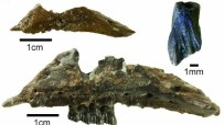 DINOZOR - Avustralya'da yeni dinozor türü keşfedildi