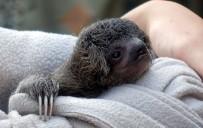 DEVLET MEMURLUĞU - Ağaçtan Düşen Yavru Tembel Hayvanın Annesiyle Buluşma Anı Göz Yaşarttı