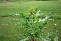 YUKARı KARABAĞ - Yeni Bir Bitki Türü Keşfedildi