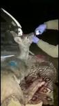 Yaralı Halde Bulunan Hamile Karaca, Tedavisi Sonrası Doğaya Salındı
