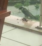 NATIONAL GEOGRAPHIC - Bir Binanın Balkonunda Yırtıcı Kuş, Güvercini Yedi