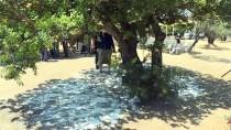 SAKIZ ADASI - 'Çeşme'den Sakız Damlıyor' Projesinde İlk Hasat