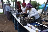 MUHITTIN PAMUK - Mersin'de Yılın İlk Siyah İncir Hasadı Bağlarbaşı'nda Başladı