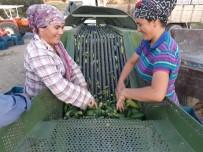 Turşuluk Salatalık Üreticisi Su Sorununun Çözülmesini Bekliyor