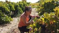 Bozcaada'da Davullu Zurnalı Bağ Bozumu