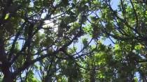 SAKIZ ADASI - Asırlık Sakız Ağaçlarından Hasat Heyecanı