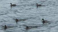 ÇORUH NEHRİ - Misafir Ördekleri Vatandaşlar Besliyor