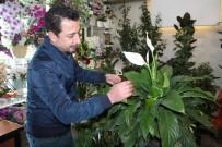 GÜNEŞ IŞIĞI - Salon Bitkisi Bakımında Doğru Bilinen Yanlışlar