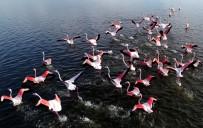 Kış Mevsimi Ilıman Geçince Flamingolar Göç Etmedi
