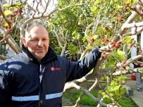 ALAÇATı - İzmir'de Dut Ağacı Kış Ortasında Meyve Verdi