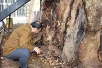 ORMAN İŞLETME MÜDÜRÜ - 400 Yıllık Anıt Ağaç Kurtarılabilecek