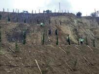 TOPRAK KAYMASI - Ulaşlı'da Toprak Kayması Yaşanan Arazi Ağaçlandırıldı
