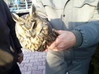 HAYVANAT BAHÇESİ - Konya'da Kulaklı Orman Baykuşu Bulundu