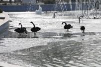 ALI ÖZDEMIR - Buz Tutan Havuzda Kuğuların Yürüme Mücadelesi Renkli Görüntüler Oluşturdu