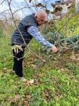 GÖVDELI - Türkiye'de Tek Aşırı Gövdeli Fındık Bahçesinde Budama Yapıldı