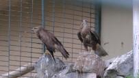 HAYVANAT BAHÇESİ - (Özel) Doğada Yaralanan 'Şahinler' Hayvanat Bahçesinde İyileşiyor
