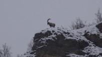Tunceli'de Karda Dağ Keçileri Yiyecek Ararken Görüntülendi