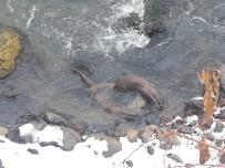 Tunceli'de Su Samurları Balık Avlarken Görüntülendi