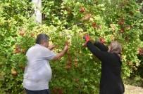 Bünyan'da Gilaburu Hasadı Başladı
