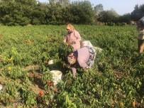 Kapya Biber Çiftçiyi Yaktı...Tonlarcası Tarlada Kaldı