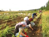 Kastamonu'da Patates Hasadı Tamamlandı