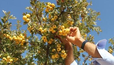 Yabani Dağ Meyvesi Bahçe Meyvesi Oldu