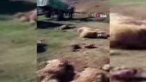 Tunceli'de Ağıla Giren Boz Ayılar 70 Koyunu Telef Etti