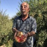 (Özel) Suriye Sınırında Nar Hasadı Başladı