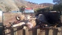 Ayılar, Koyunların Yarısını Pençeleriyle Öldürmüş
