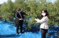 Bozcaada'da Zeytin Hasadı Başladı, İlk Zeytini İlçenin Kadın Kaymakamı Topladı