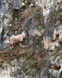 Köpeklerden Kaçan Dağ Keçisinin Müthiş Tırmanışı